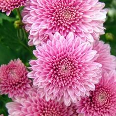 hochzeitsblumen_chrysanthemen