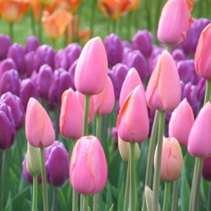 hochzeitsblumen_tulpen